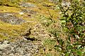 Turdus philomelos in Korsun park.jpg