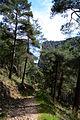 Turkish pine trees, Canyon Kapıkaya 09.jpg