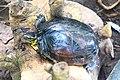 Turtle albay.jpg