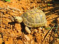 Turtle south hebron.JPG