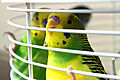 Two Budgerigars in a cage.jpg