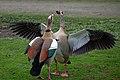 Two Egyptian goose.jpg