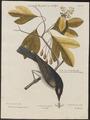Tyrannus carolinensis - 1700-1880 - Print - Iconographia Zoologica - Special Collections University of Amsterdam - UBA01 IZ16500355.tif