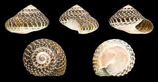<i>Umbonium moniliferum</i> Species of gastropod