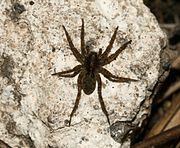 Unident. wolf^ spider - Flickr - S. Rae.jpg