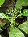 Unidentified Psychotria species from Alaram WLS during the Odonate Survey 2015 (1).jpg