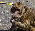 Unidentified macaque, Saka Tunggal Mosque, Purwokerto 2015-03-22 03 crop.jpg