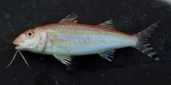 Upeneus parvus - Flickr - NOAA Photo Library.jpg