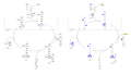 Urea Cycle Fisher Polygonal Model.png