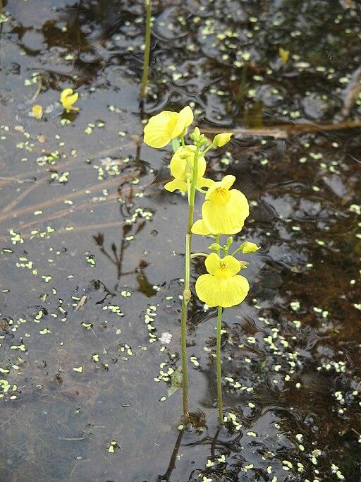 Utricularia aureaRHu3