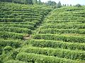 VM 5088 Guodao 209 Jingu Tea Plantation and factory near Xiangshan County - Badong County border.jpg