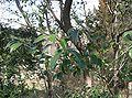 Vaccinium bracteatum2.jpg