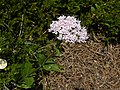 Valeriana montana - Berg-Baldrian.jpg