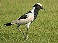 Vanellus armatus (taxobox).jpg