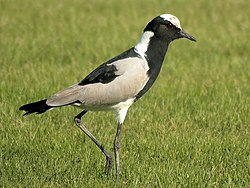 definition of lapwing