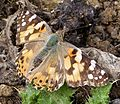 Vanessa cardui. Painted Lady - Flickr - gailhampshire.jpg