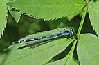 Variable damselfly (Coenagrion pulchellum) female blue form Estonia.jpg