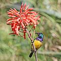 Variable sunbird (Cinnyris venustus falkensteini) male.jpg