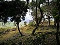 """Vegetació de """"ceja de selva"""" (selva alta) entre les ruïnes de Chachapoyas.jpg"""