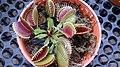 Venus Fly Trap (Dionaea muscipula) 3.jpg
