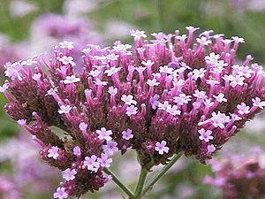 Verbena - Purpletop vervain, Verbena bonariensis