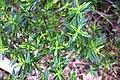 Veronica speciosa × V. glaucophylla in Auckland Botanic Gardens.jpg