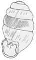 Vertigo angustior - Jekerdal-1a.png
