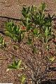 Viburnum nudum Earthshade 2zz.jpg