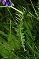 Vicia cracca PID1074-2.jpg