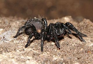 Australian funnel-web spider Family of mygalomorph spiders