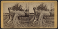 View of a downed tree, from Robert N. Dennis collection of stereoscopic views.png