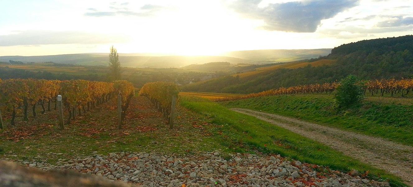 Vignoble au soleil couchant, en amont d'Irancy (vers Auxerre, Yonne)