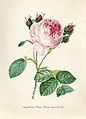 Vintage Flower illustration by Pierre-Joseph Redouté, digitally enhanced by rawpixel 53.jpg