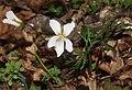 Viola eizanensis s9.jpg