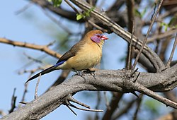 Violet-eared waxbill, Uraeginthus granatinus, at Elephant Sands Lodge, Botswana (32246251476).jpg