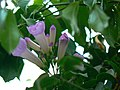 Violet Bignonia flower (532958196).jpg