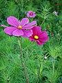 Violette Cosmos bipinnatus.JPG