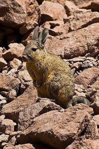 Viscacha - A southern viscacha in the Atacama desert, Chile