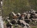 Vulpes vulpes at Skansen spring 2008-2.JPG