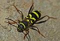 Wasp Beetle (Clytus arietis) (9209845426).jpg