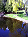 Weeping Willow-tree.jpg