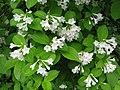 Weigela hortensis f. albiflora.JPG