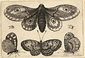 Wenceslas Hollar - A moth, three butterflies, and two beetles (State 1).jpg