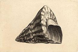 Wenceslas Hollar - Trochus niloticus