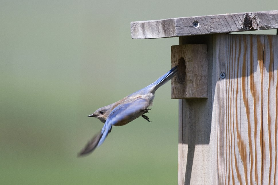Western Bluebird leaving nest box