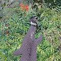 Western Phoebe (30747710944).jpg
