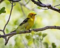 Western Tanager (m), non-breeding adult (34814659971).jpg
