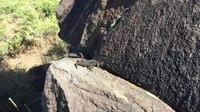 File:Western fence lizard (Sceloporus occidentalis).webm
