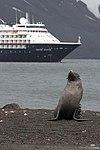 Whalers Bay Deception Island Antarctica Fur Seal 6 (47284693362).jpg