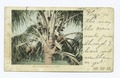 Where the Cocoas Grow, Puerto Rico (NYPL b12647398-62632).tiff